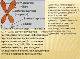 Хромосома состоит из двух хроматид и после деления ядра становится однохромат