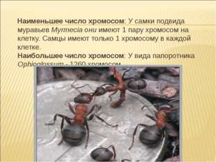 Наименьшее число хромосом: У самки подвида муравьев Myrmecia они имеют 1 пар