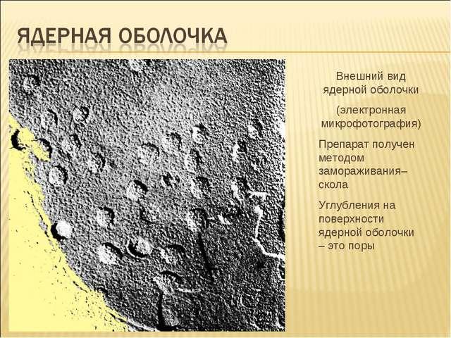 Внешний вид ядерной оболочки (электронная микрофотография) Препарат получен м...