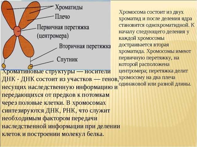 Хромосома состоит из двух хроматид и после деления ядра становится однохромат...