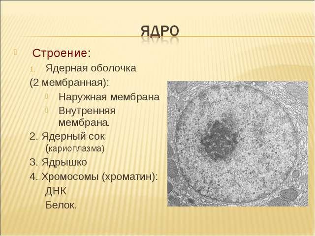 Строение: Ядерная оболочка (2 мембранная): Наружная мембрана Внутренняя мембр...