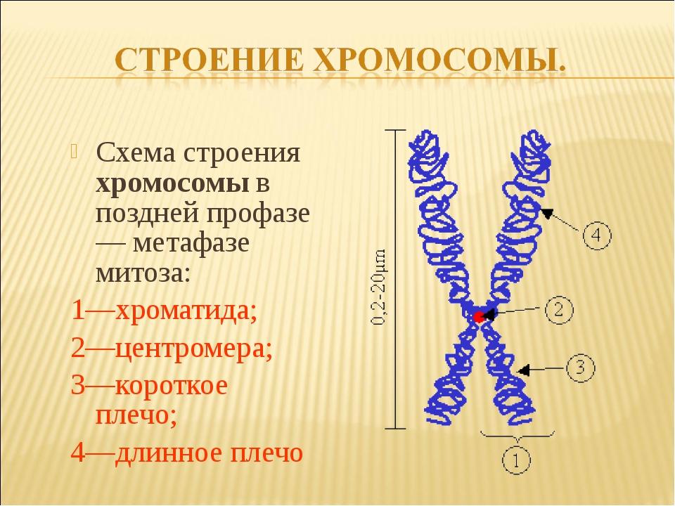 Схема строения хромосомы в поздней профазе — метафазе митоза: 1—хроматида; 2—...