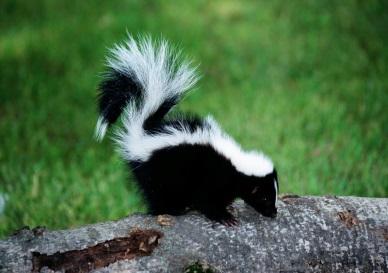 Почему скунс плохо пахнет - Сайт о фауне Земли, а также сафари, дайвинг и многое другое