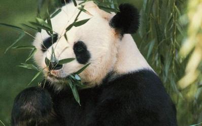 Большая панда - Террапарк- я.ру