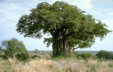 Старое дерево