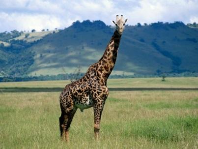 Жирафы - BORT.SU