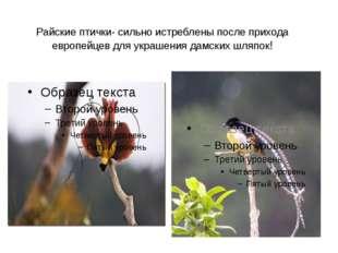 Райские птички- сильно истреблены после прихода европейцев для украшения дамс
