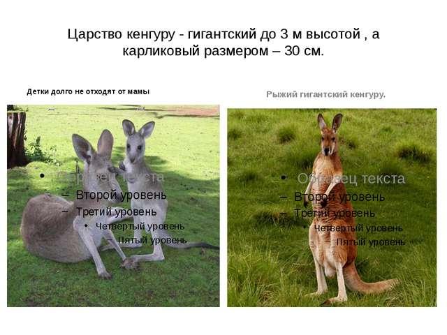 Царство кенгуру - гигантский до 3 м высотой , а карликовый размером – 30 см....