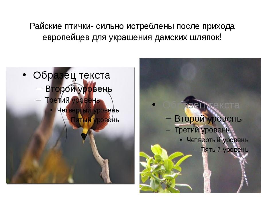 Райские птички- сильно истреблены после прихода европейцев для украшения дамс...