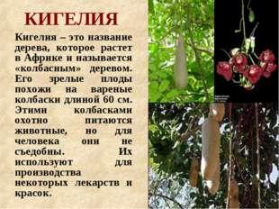 КИГЕЛИЯ Кигелия – это название дерева, которое растет в Африке и называется «