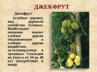 ДЖЕКФРУТ Джекфрут (хлебное дерево), вид деревьев семейства тутовых. Наибольше