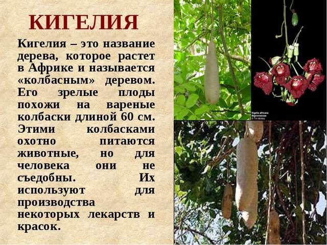 КИГЕЛИЯ Кигелия – это название дерева, которое растет в Африке и называется «...