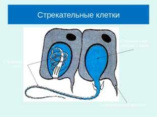 Стрекательные клетки Чувствительный волосок Стрекательная капсула с ядом Стре