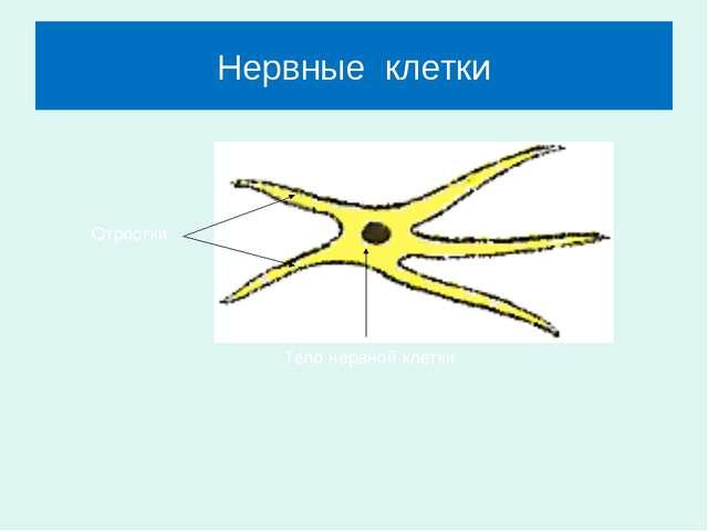 Нервные клетки Отростки Тело нервной клетки
