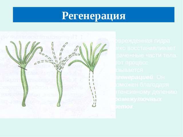 Регенерация Поврежденная гидра легко восстанавливает утраченные части тела. Э...