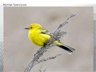 Желтая Трясогузка