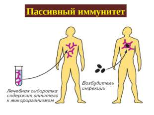 Пассивный иммунитет