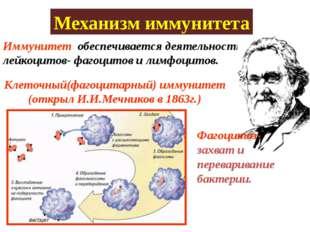 Иммунитет обеспечивается деятельностью лейкоцитов- фагоцитов и лимфоцитов. Ме