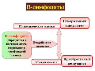 В-лимфоциты В-лимфоциты (образуются в костном мозге, созревают в лимфоидной т