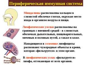 Периферическая иммунная система Миндалины расположены кольцом в слизистой обо