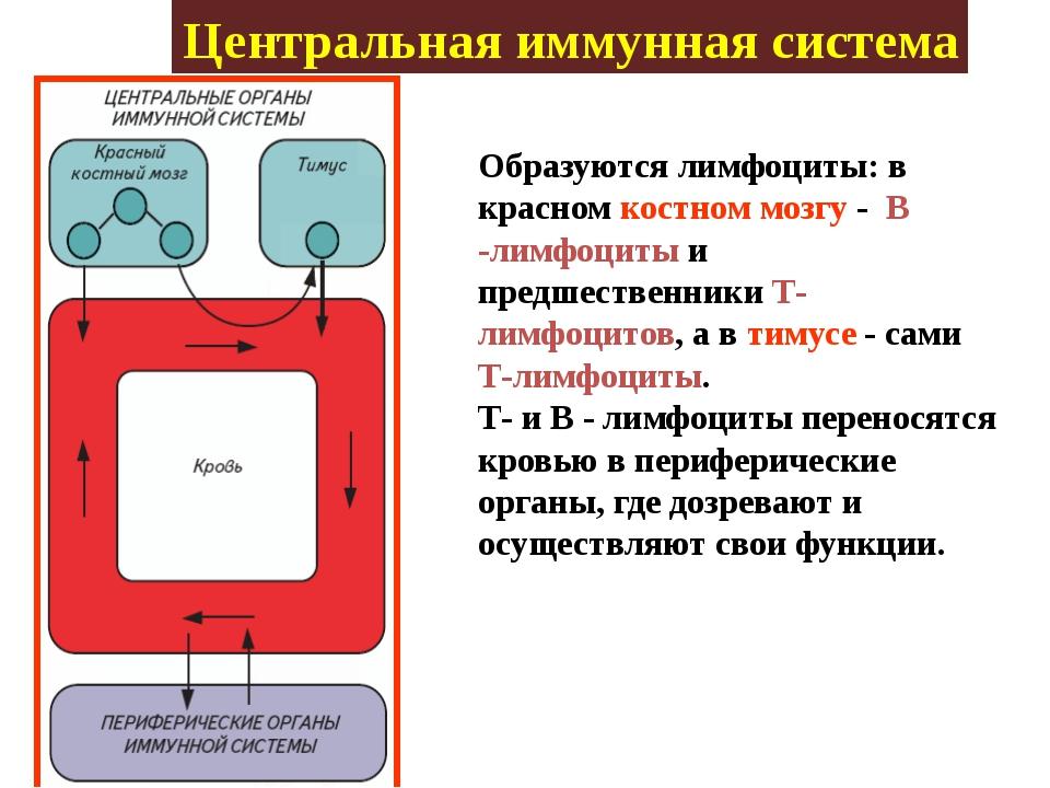 Центральная иммунная система Образуются лимфоциты: в красном костном мозгу -...