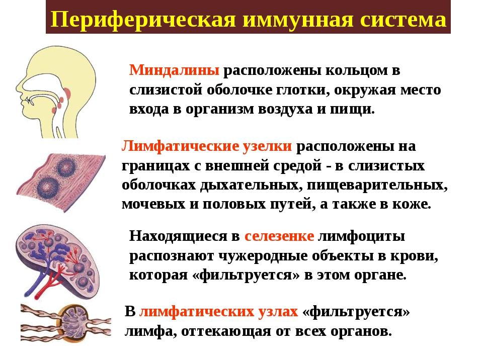 Периферическая иммунная система Миндалины расположены кольцом в слизистой обо...