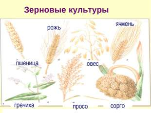 Зерновые культуры пшеница рожь овес ячмень гречиха просо сорго