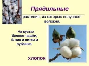 Прядильные растения, из которых получают волокна. На кустах белеют чашки, В н