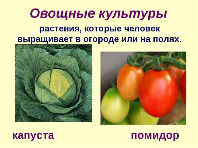 Овощные культуры растения, которые человек выращивает в огороде или на полях....