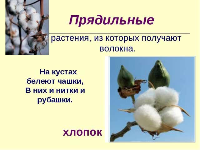 Прядильные растения, из которых получают волокна. На кустах белеют чашки, В н...