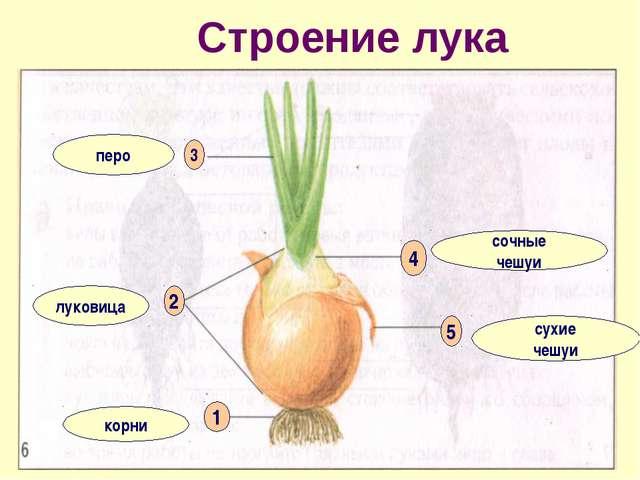 Строение лука корни луковица перо сочные чешуи сухие чешуи 1 2 3 4 5