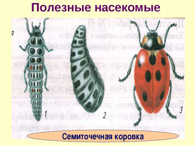 Полезные насекомые Семиточечная коровка