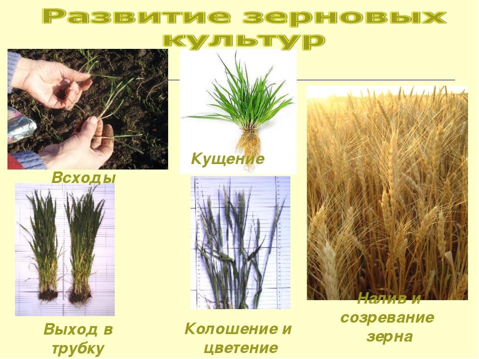 Всходы Кущение Выход в трубку Колошение и цветение Налив и созревание зерна