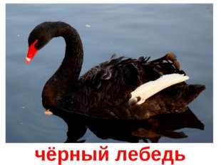 чёрный лебедь