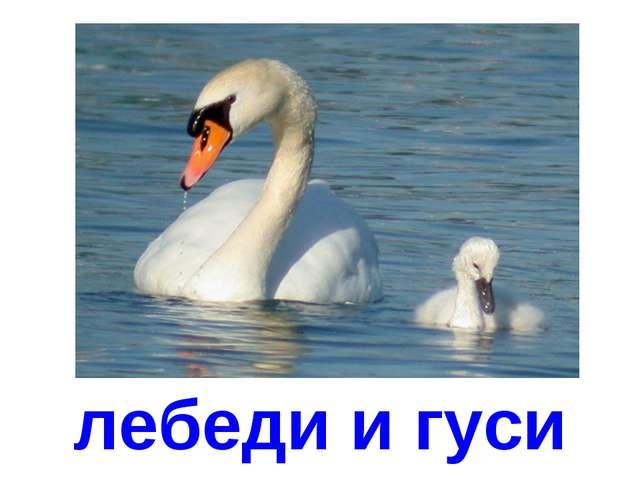 лебеди и гуси