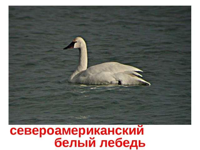 североамериканский белыйлебедь