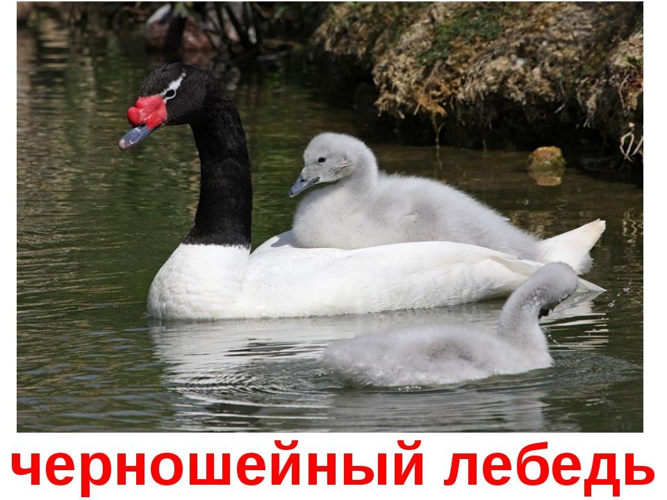 черношейный лебедь