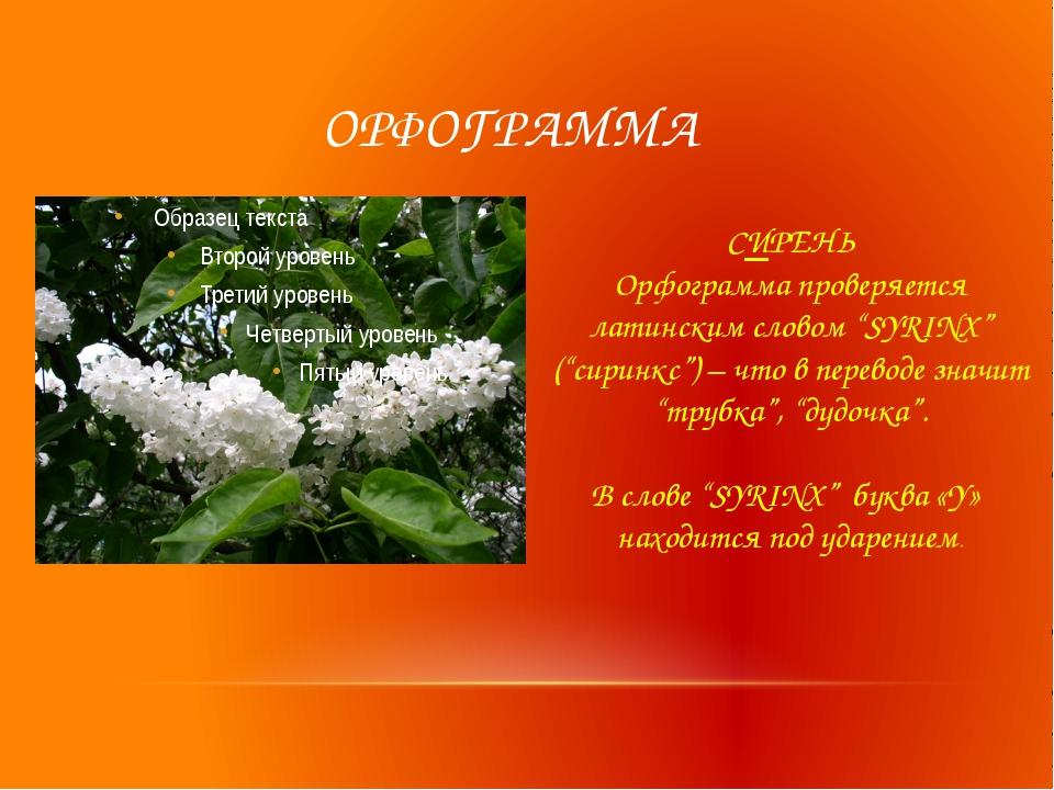"""ОРФОГРАММА СИРЕНЬ Орфограмма проверяется латинским словом """"SYRINX"""" (""""сиринкс..."""