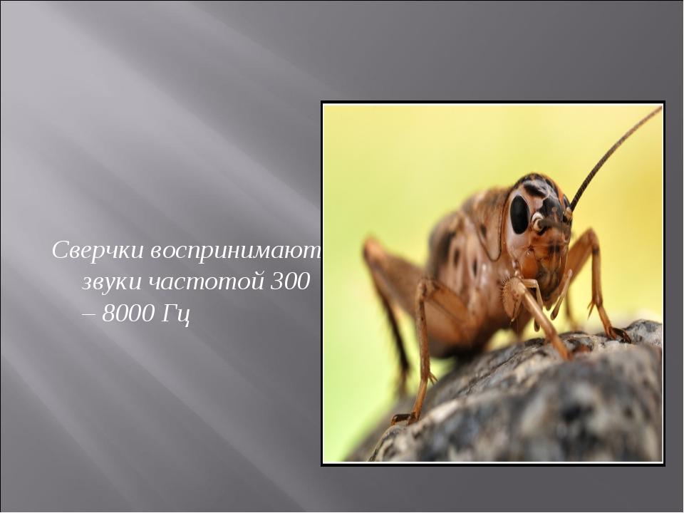 Сверчки воспринимают звуки частотой 300 – 8000 Гц