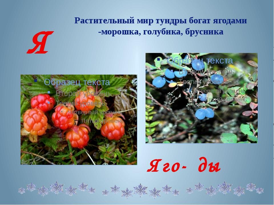 Растительный мир тундры богат ягодами -морошка, голубика, брусника Я Яго- ды