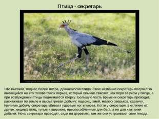 Птица - секретарь Это высокая, подчас более метра, длинноногая птица. Свое на