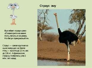 Страус эму Страус — самая крупная из ныне живущих на Земле птиц — высота до 2