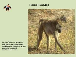 Павиан (Бабуин) Хотя бабуины — наземные животные, они проводят на деревьях бо