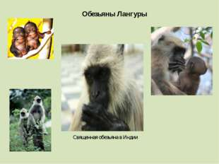 Обезьяны Лангуры Священная обезьяна в Индии