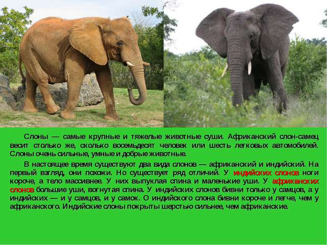 Слоны — самые крупные и тяжелые животные суши. Африканский слон-самец весит...