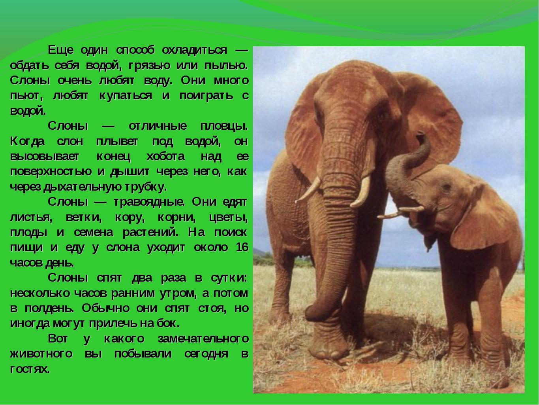 Еще один способ охладиться — обдать себя водой, грязью или пылью. Слоны очен...