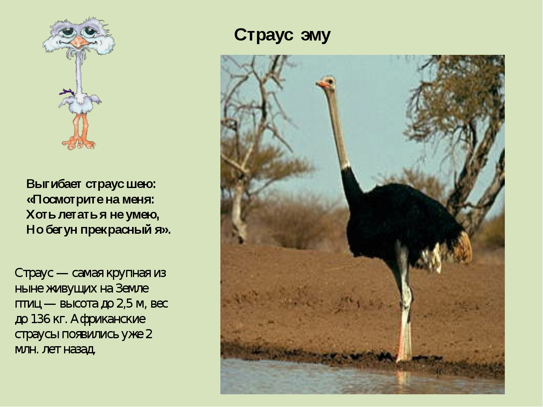 Страус эму Страус — самая крупная из ныне живущих на Земле птиц — высота до 2...