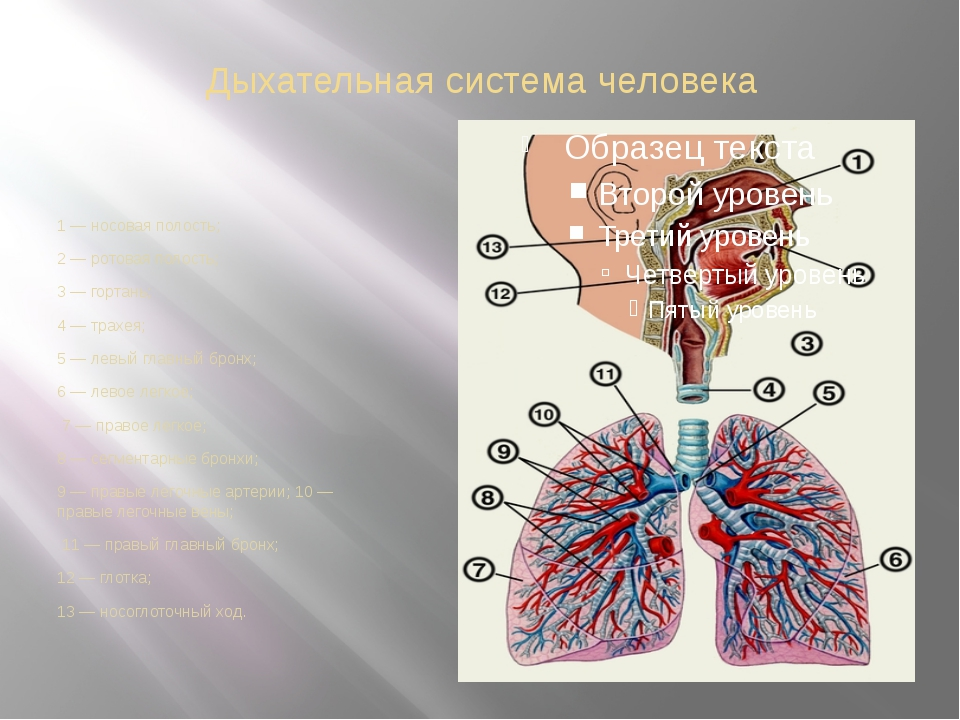 Дыхательная система человека 1 — носовая полость; 2 — ротовая полость; 3 — го...