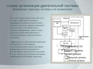 Схема организации двигательной системы Важнейшие структуры системы и их взаим