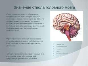 Значение ствола головного мозга Ствол головного мозга — образование головного
